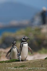 Magellanic penguins, coming ashore after foraging at sea, Spheniscus magellanicus, Carcass Island