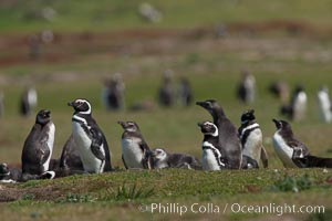 Magellanic penguins, at their burrow in short grass, in the interior of Carcass Island, Spheniscus magellanicus