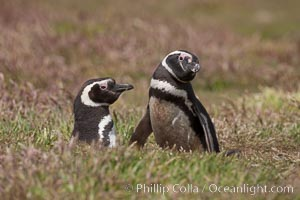 "Magellanic penguins, in grasslands at the opening of their underground burrow.  Magellanic penguins can grow to 30"" tall, 14 lbs and live over 25 years.  They feed in the water, preying on cuttlefish, sardines, squid, krill, and other crustaceans, Spheniscus magellanicus, New Island"
