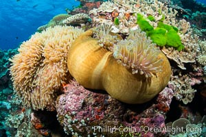 Magnificent Anemone, Heteractis sp, on pristine coral reef, Fiji. Vatu I Ra Passage, Bligh Waters, Viti Levu  Island, natural history stock photograph, photo id 31494
