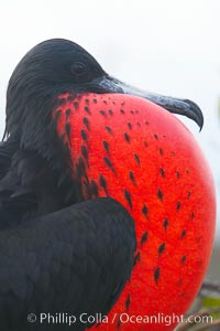 Magnificent frigatebird, adult male on nest, with throat pouch inflated, a courtship display to attract females. North Seymour Island, Galapagos Islands, Ecuador, Fregata magnificens, natural history stock photograph, photo id 16736