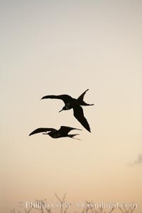 Magnificent frigatebirds in flight. Isla Lobos (near San Cristobal Island), Fregata magnificens