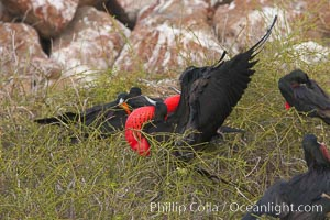 Magnificent frigatebird, bachelor adult males with raised wings and throat pouch inflated in a courtship display to attract females, Fregata magnificens, North Seymour Island