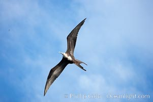 Magnificent frigatebird, juvenile in flight, Fregata magnificens, Wolf Island