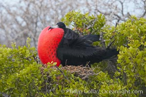 Magnificent frigatebird, adult male on nest, with throat pouch inflated, a courtship display to attract females, Fregata magnificens, North Seymour Island