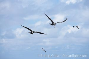 Magnificent frigatebirds in flight, one carries fish in beak, Fregata magnificens, Darwin Island