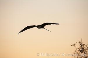 Magnificent frigatebirds in flight. Isla Lobos (near San Cristobal Island). Isla Lobos, Galapagos Islands, Ecuador, Fregata magnificens, natural history stock photograph, photo id 16759
