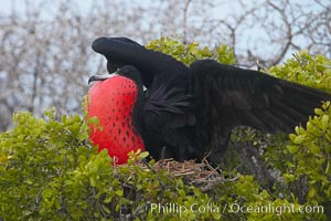 Magnificent frigatebird, adult male on nest, with raised wings and throat pouch inflated in a courtship display to attract females. North Seymour Island, Galapagos Islands, Ecuador, Fregata magnificens, natural history stock photograph, photo id 16766