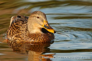 Mallard, female. Santee Lakes, California, USA, Anas platyrhynchos, natural history stock photograph, photo id 23396
