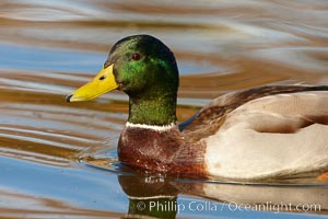 Mallard, male. Santee Lakes, Santee, California, USA, Anas platyrhynchos, natural history stock photograph, photo id 23404