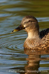 Mallard, female. Santee Lakes, Santee, California, USA, Anas platyrhynchos, natural history stock photograph, photo id 23417