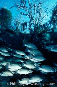 Mangrove snapper. Three Sisters Springs, Crystal River, Florida, USA, Lutjanus griseus, natural history stock photograph, photo id 02681