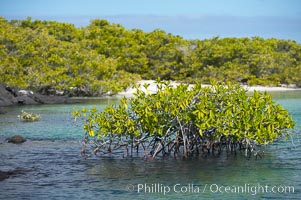 Mangrove shoreline.  Mangroves have vertical branches, pheumatophores, that serve to filter out salt and provide fresh water to the leaves of the plant.  Many juvenile fishes and young marine animals reside in the root systems of the mangroves.  Punta Albemarle, Isabella Island