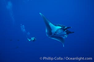 Manta ray and scuba diver. San Benedicto Island (Islas Revillagigedos), Baja California, Mexico, Manta birostris, natural history stock photograph, photo id 02471