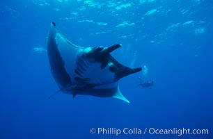 Manta ray. San Benedicto Island (Islas Revillagigedos), Baja California, Mexico, Manta birostris, natural history stock photograph, photo id 02476