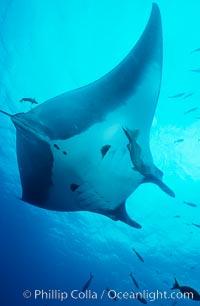 Manta ray. San Benedicto Island (Islas Revillagigedos), Baja California, Mexico, Manta birostris, natural history stock photograph, photo id 05757