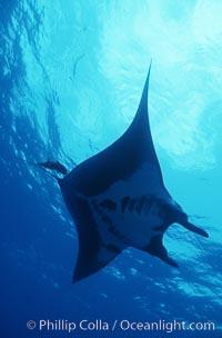 Manta ray, Isla San Benedicto., Manta birostris, natural history stock photograph, photo id 05758
