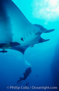 Manta ray. San Benedicto Island (Islas Revillagigedos), Baja California, Mexico, Manta birostris, natural history stock photograph, photo id 05761