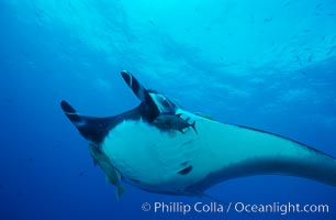 Pacific manta ray with remora. San Benedicto Island (Islas Revillagigedos), Baja California, Mexico, Manta birostris, Remora, natural history stock photograph, photo id 06233