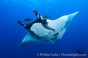 Giant Manta Ray at San Benedicto Island, Revillagigedos, Mexico. San Benedicto Island (Islas Revillagigedos), Baja California, Mexico, Manta birostris, natural history stock photograph, photo id 33276