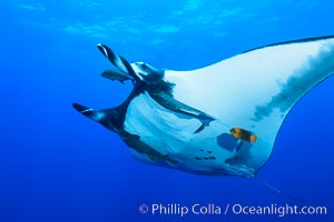 Giant Manta Ray at San Benedicto Island, Revillagigedos, Mexico. San Benedicto Island (Islas Revillagigedos), Baja California, Mexico, Manta birostris, natural history stock photograph, photo id 33280