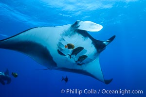 Giant Manta Ray at Socorro Island, Revillagigedos, Mexico. Socorro Island (Islas Revillagigedos), Baja California, Mexico, Manta birostris, natural history stock photograph, photo id 33279