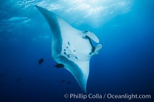 Giant Manta Ray at Socorro Island, Revillagigedos, Mexico. Socorro Island (Islas Revillagigedos), Baja California, Mexico, Manta birostris, natural history stock photograph, photo id 33285