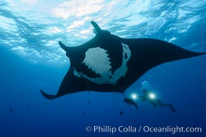 Giant Manta Ray at Socorro Island, Revillagigedos, Mexico. Socorro Island (Islas Revillagigedos), Baja California, Mexico, Manta birostris, natural history stock photograph, photo id 33291