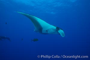 Giant Manta Ray at Socorro Island, Revillagigedos, Mexico. Socorro Island (Islas Revillagigedos), Baja California, Mexico, Manta birostris, natural history stock photograph, photo id 33302