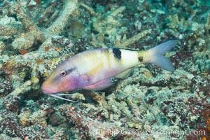 Manybar Goatfish, Parupeneus multifasciatus, Fiji, Makogai Island, Lomaiviti Archipelago