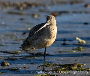 Marbled Godwit, foraging on sand flats, Mission Bay