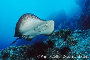 Marbled ray, Taeniura meyeni, Cocos Island