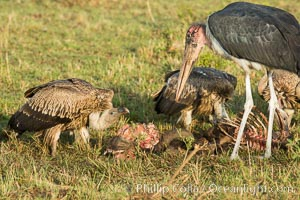 Maribou stork and vultures on carcass, greater Maasai Mara, Kenya, Leptoptilos crumeniferus, Maasai Mara National Reserve