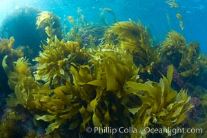 Marine algae, various species, in shallow water underwater, Catalina Island