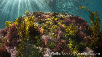 Marine Algae on Underwater Reef, Coronado Islands, Mexico, Coronado Islands (Islas Coronado)