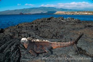 Marine iguana. James Island, Galapagos Islands, Ecuador, Amblyrhynchus cristatus, natural history stock photograph, photo id 01715