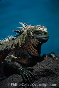 Image 01719, Marine iguana, Punta Espinosa. Fernandina Island, Galapagos Islands, Ecuador, Amblyrhynchus cristatus, Phillip Colla, all rights reserved worldwide. Keywords: above water, amblyrhynchus cristatus, animal, creature, ecuador, endemic species, fernandina island, galapagos, galapagos iguana, galapagos islands, iguana, marine iguana, nature, oceans, pacific, punta espinosa, reptile, sea iguana, wildlife, world heritage sites.