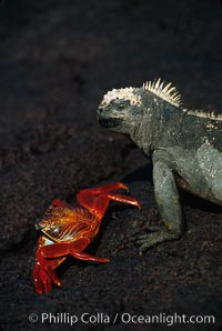 Image 01720, Marine iguana, Punta Espinosa. Fernandina Island, Galapagos Islands, Ecuador, Amblyrhynchus cristatus, Phillip Colla, all rights reserved worldwide. Keywords: above water, amblyrhynchus cristatus, animal, ecuador, endemic species, fernandina island, galapagos, galapagos iguana, galapagos islands, iguana, marine iguana, oceans, pacific, punta espinosa, reptile, sea iguana, wildlife, world heritage sites.