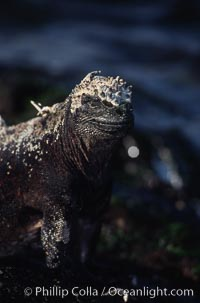Image 01722, Marine iguana, Punta Espinosa. Fernandina Island, Galapagos Islands, Ecuador, Amblyrhynchus cristatus, Phillip Colla, all rights reserved worldwide.   Keywords: above water:amblyrhynchus cristatus:animal:ecuador:endemic species:fernandina island:galapagos:galapagos iguana:galapagos islands:iguana:marine iguana:oceans:pacific:punta espinosa:reptile:sea iguana:wildlife:world heritage sites.