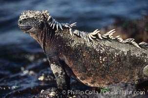 Image 01729, Marine iguana, Punta Espinosa. Fernandina Island, Galapagos Islands, Ecuador, Amblyrhynchus cristatus, Phillip Colla, all rights reserved worldwide.   Keywords: above water:amblyrhynchus cristatus:animal:ecuador:endemic species:fernandina island:galapagos:galapagos iguana:galapagos islands:iguana:marine iguana:oceans:pacific:punta espinosa:reptile:sea iguana:wildlife:world heritage sites.