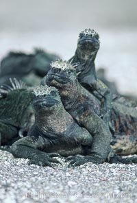 Marine iguanas, Punta Espinosa, Amblyrhynchus cristatus, Fernandina Island