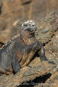 Marine iguana on volcanic rocks at the oceans edge, Punta Albemarle. Isabella Island, Galapagos Islands, Ecuador, Amblyrhynchus cristatus, natural history stock photograph, photo id 16570