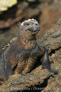 Marine iguana on volcanic rocks at the oceans edge, Punta Albemarle. Isabella Island, Galapagos Islands, Ecuador, Amblyrhynchus cristatus, natural history stock photograph, photo id 16576