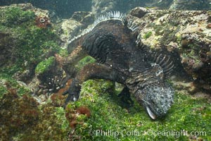 Marine iguana, underwater, forages for green algae that grows on the lava reef, Amblyrhynchus cristatus, Bartolome Island