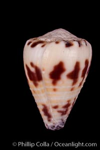 Image 07980, Marriage Cone, Conus sponsalis, Phillip Colla, all rights reserved worldwide. Keywords: cones, conus sponsalis, marriage cone, shells.