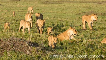 Marsh pride of lions, Maasai Mara National Reserve, Kenya., Panthera leo, natural history stock photograph, photo id 29932