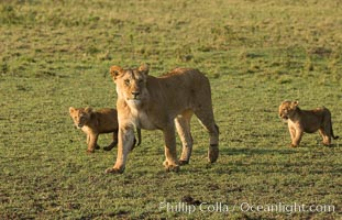 Marsh pride of lions, Maasai Mara National Reserve, Kenya. Maasai Mara National Reserve, Kenya, Panthera leo, natural history stock photograph, photo id 29939