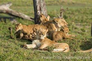 Marsh pride of lions, Maasai Mara National Reserve, Kenya. Maasai Mara National Reserve, Kenya, Panthera leo, natural history stock photograph, photo id 29950