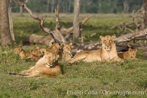 Marsh pride of lions, Maasai Mara National Reserve, Kenya. Maasai Mara National Reserve, Kenya, Panthera leo, natural history stock photograph, photo id 29951