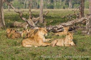 Marsh pride of lions, Maasai Mara National Reserve, Kenya. Maasai Mara National Reserve, Kenya, Panthera leo, natural history stock photograph, photo id 29953